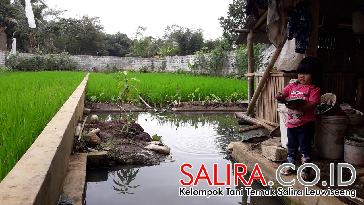 Pengembangan Kolam Sawah Minapadi Salira menuju ke Budidaya Cacing Sutera dan Belut